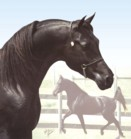 Homozygous Black Arabian Stallion -Faheem Al Maas: the ONLY stallion doubled back to the WORLD'S Leading Sire of Black Arabians!